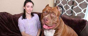 Hulk the Gigantic Pit Bull Will Melt Your Teeny Heart