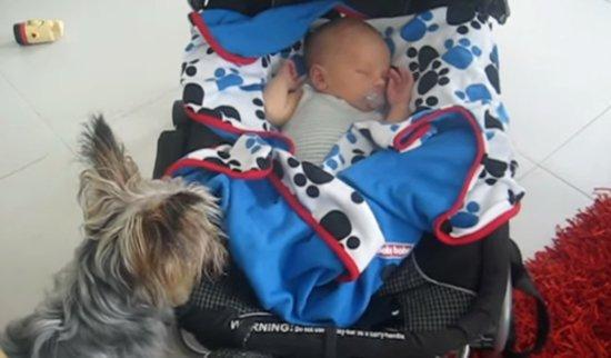 Yorkshire Terrier Tucks in Sleeping Baby