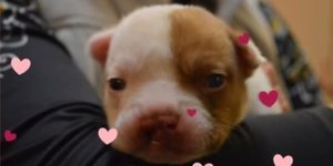 Princess Fiona, Bulldog Puppy, Saved From Euthanasia Over A Cleft Palate