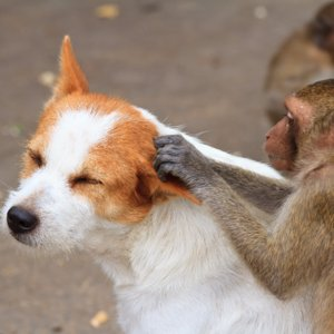 Monkey With Litter of Puppies | Video
