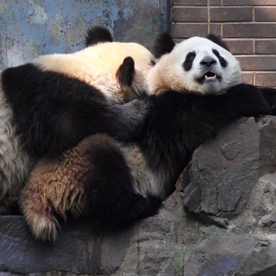 Panda Bear Sets Sex Record