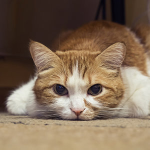 8 Things You Should Know About Feline Lower Urinary Tract Disease