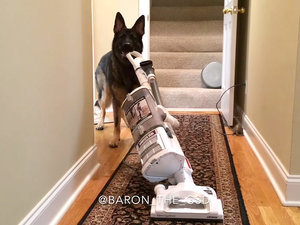 German Shepherd Does His Chores Like a Pro