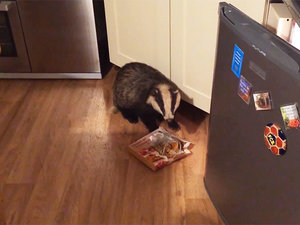 Badger Breaks into House – and Eats Pie