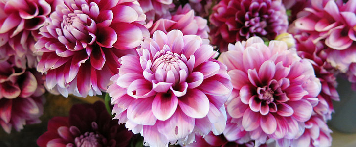What You Should Know Before Growing Dahlias
