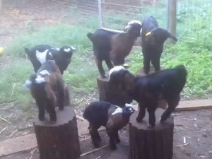 Look at All These Goats Playing Musical Chairs (VIDEO)