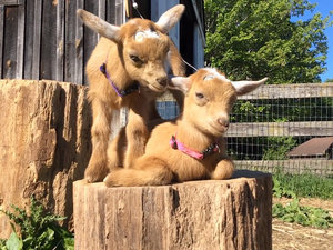 Twin Goats Remind Us There Are Annoying Siblings Across All Species (VIDEO)
