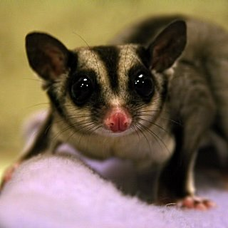 Facts About Sugar Gliders