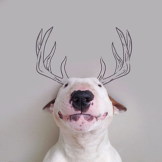 Bull Terrier Instagram Account