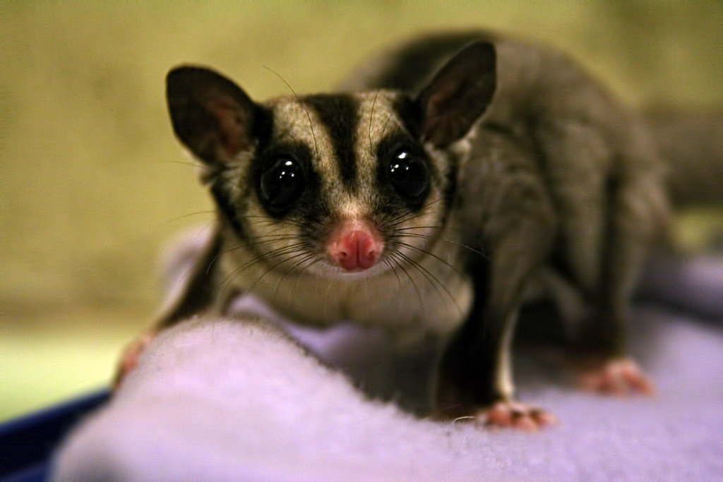 This sugar glider sure ain't your usual pet!