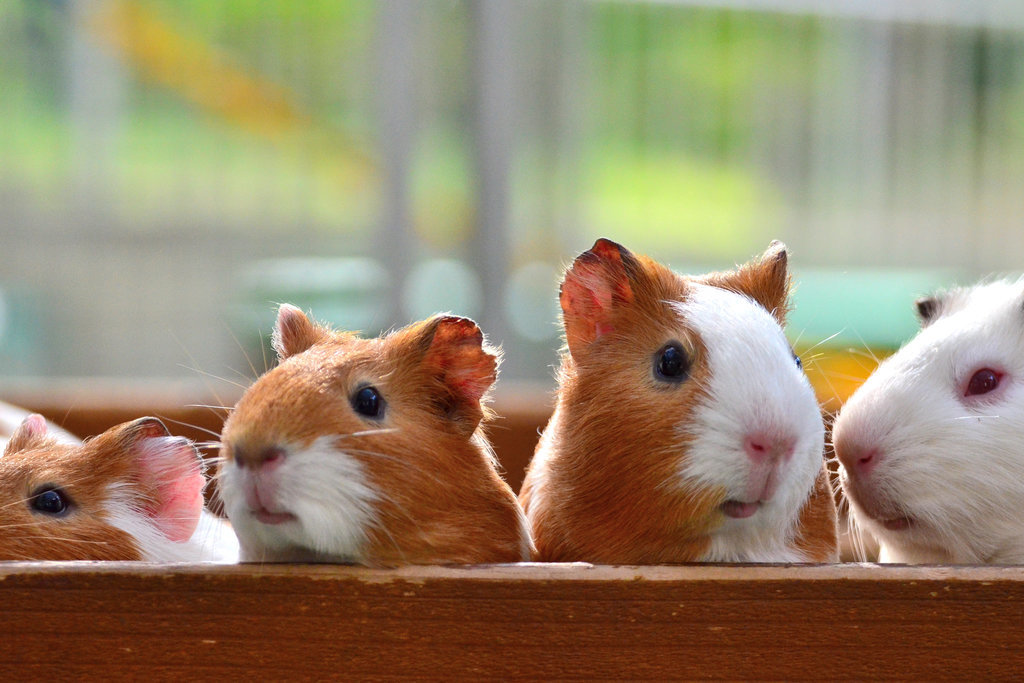 Awww . . . guinea pigs are precious!