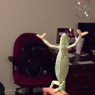 Chameleon Playing With Bubbles