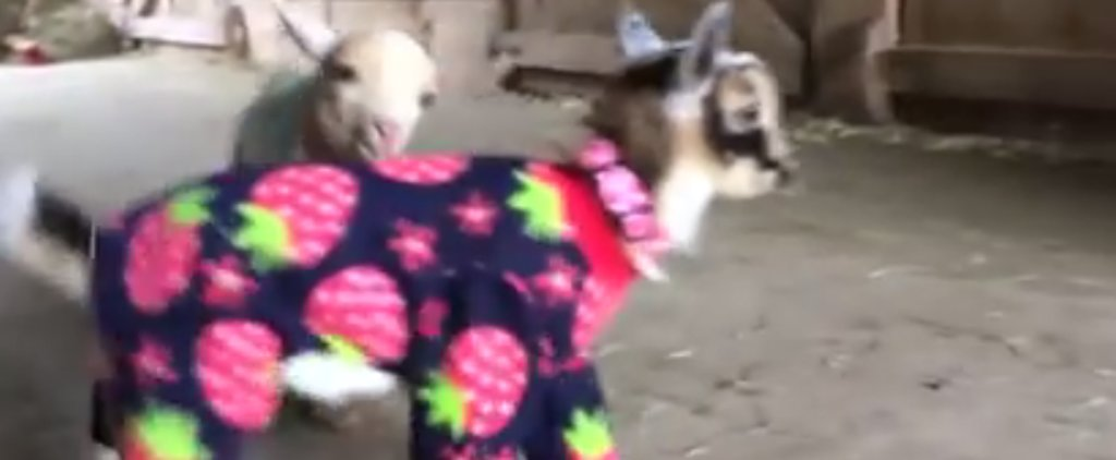 Here Are Baby Goats in Pajamas to Kick Off Your Friday
