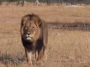 Hunter Allegedly Paid $55,000 To Kill Zimbabwe's Most Famous Lion