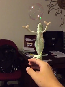 WATCH: Laura the Tiny Chameleon Joyfully Pops Bubbles with Her Hands