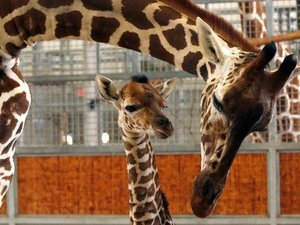Beloved Baby Giraffe Kipenzi Dies In Accident At Dallas Zoo