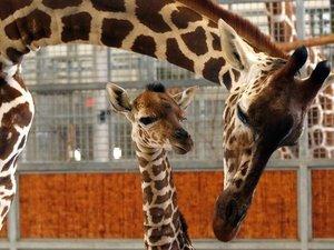Beloved Baby Giraffe Kipenzi Dies In Accident At Dallas Zoo