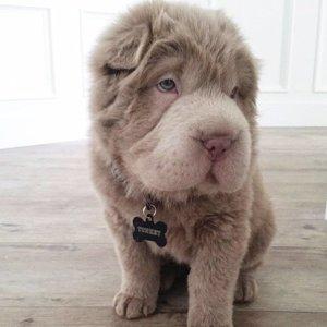 Puppy Looks Like a Teddy Bear