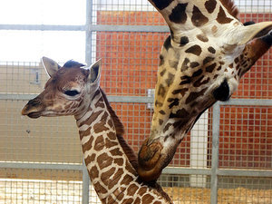 Kipenzi, the Dallas Zoo's Baby Giraffe, Has Died