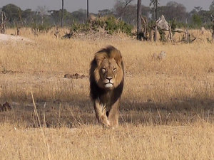 Cecil The Lion's Brother Jericho Killed in Zimbabwe, Reportedly by an Illegal Hunter