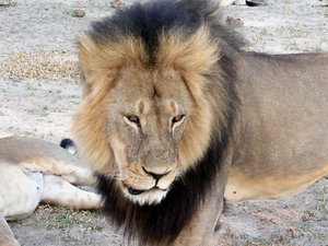 Delta Bans Exotic Animal Trophy Shipments After Cecil The Lion