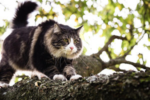 Get to Know the Norwegian Forest Cat: A Gentle Friend and Mighty Hunter