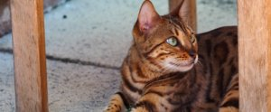 8 of the Most Expensive Cat Breeds