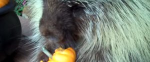 Teddy the Porcupine Is as Excited For Fall as We Are