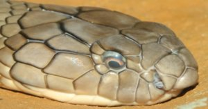 Missing King Cobra Found Hissing Under S-s-s-stranger's Dryer