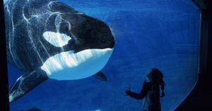 California Agency Votes To Ban Captive Orca Breeding At SeaWorld