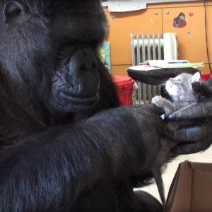 Gorilla Adopts Kittens | Video