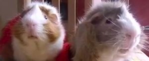 Guinea Pigs Are Just as Basic as We Are With Their Love of Pumpkin Spice Everything