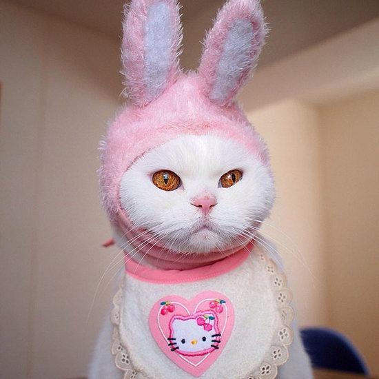 Famous Japanese Scottish Fold Cat Ura