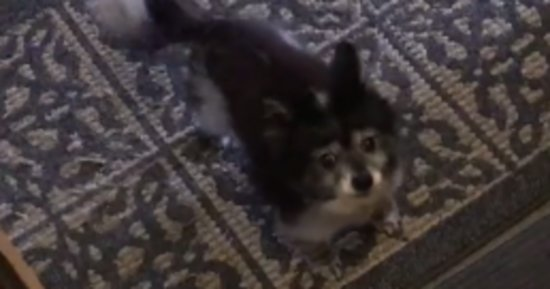 This Adorable Dog Is Likely Better House-Trained Than You