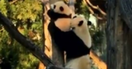 Adventurous Panda Cub Needs Mom's Help Getting Down From Tree