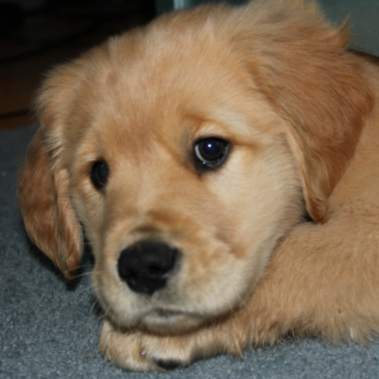 Golden Retriever GIFs
