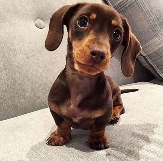 Cutest Ever Sausage Dog Puppies