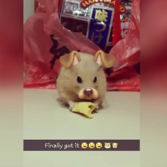 Snapchat Filters Used on Hamster