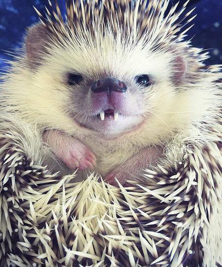 PHOTOS: Utah Hedgehog With Vampire Smile Sinks Teeth Into Instagram Fame