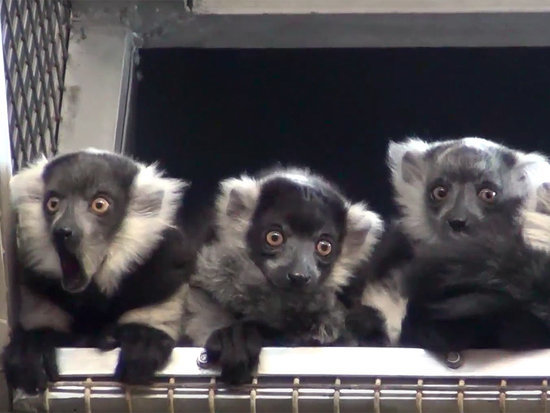 WATCH: Philadelphia Zoo Debuts Four Adorable Baby Lemurs - and They're Already Making Mischief