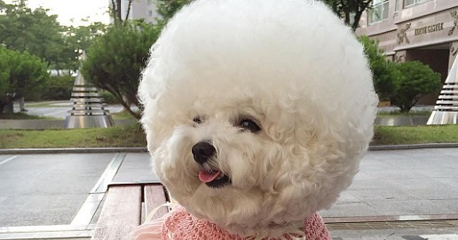 This Bichon Has Way More Fabulous Hair Than We Could Ever Dream Of