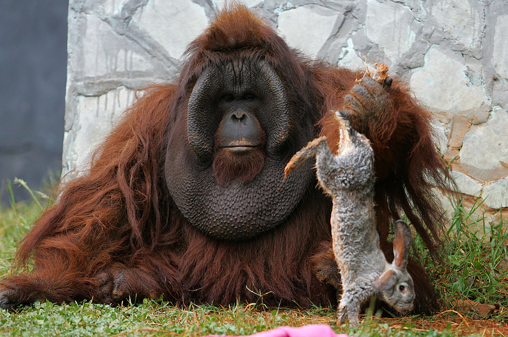 No Bunny Was Harmed in the Shooting of These Orangutan ...