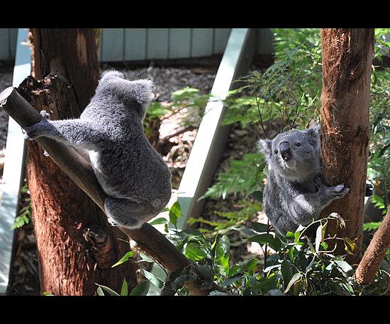 5. Curious Koalas