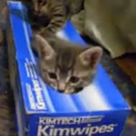 Kittens in Tissue Box Video From Daily Show With Jon Stewart on August 12