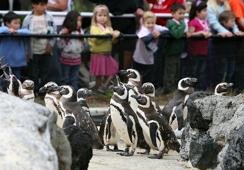 March of the Magellanic Penguins at the San Francisco Zoo!