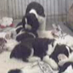 Puppy Cam, Springer Spaniel Edition