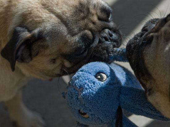 Do Your Pets Play Tug?