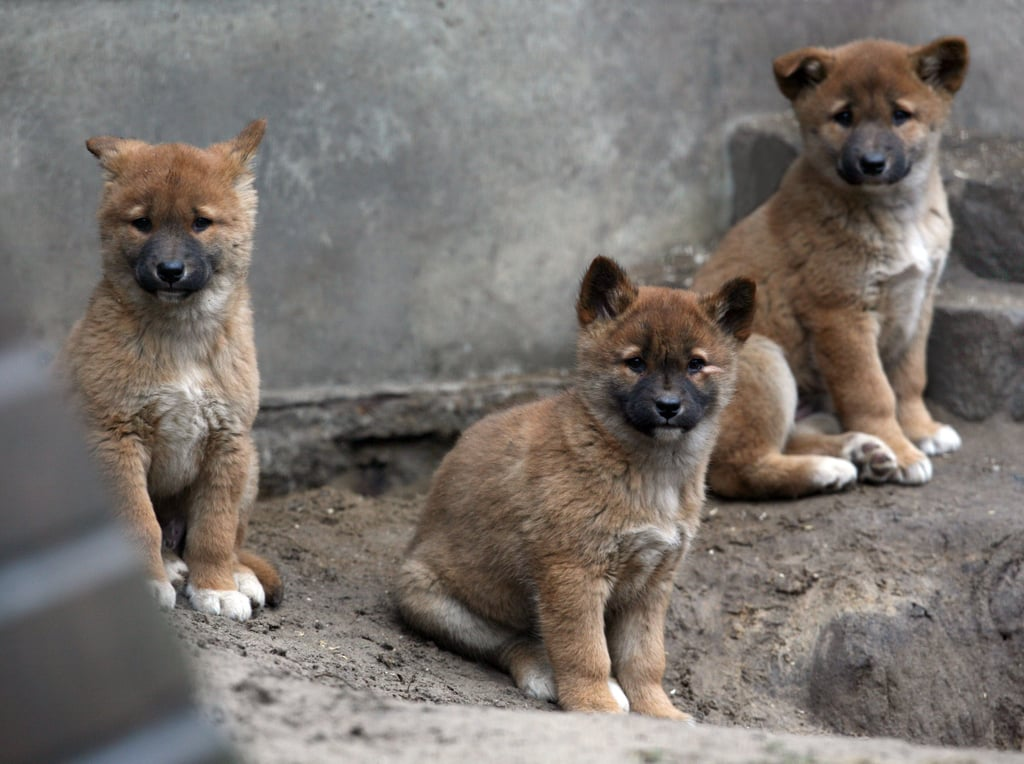 These baby dingoes born at Berlin's Tierpark Friedrichsfelde Zoo are cute enough to cuddle, but dingoes are feral canines closely related to the Asian gray wolf.