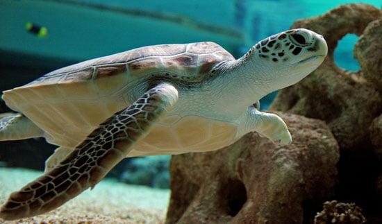 This green sea turtle was rescued offshore by the staff at Oceanworld Manly, north of Sydney. Despite the odds, she learned to dive and swim gracefully with her three remaining flippers.