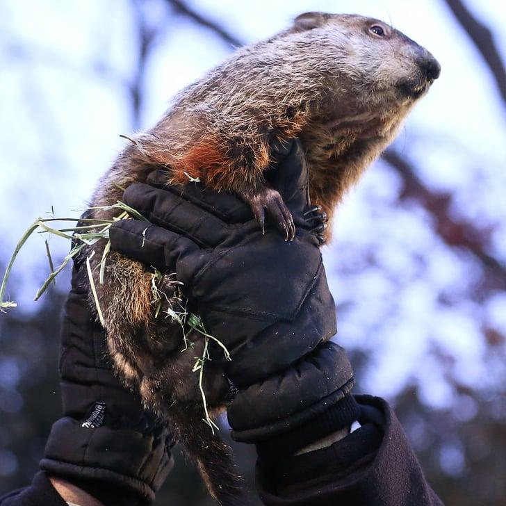 Punxsatawney Phil on Groundhog Day 2014